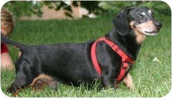 Dachshund Mix Dog for adoption in Toronto, Ontario - Riley