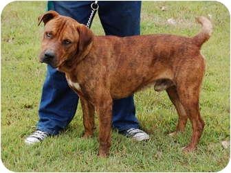 Bullmastiff Mix Dog for adoption in North Judson, Indiana - Hans
