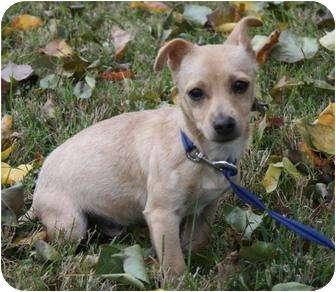 Chihuahua/Dachshund Mix Puppy for adoption in Yuba City, California - Tanner