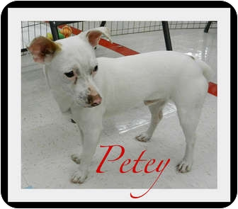 Jack Russell Terrier/Chihuahua Mix Dog for adoption in Orange, California - Petey