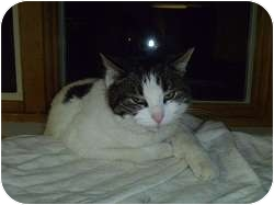 Domestic Shorthair Cat for adoption in Hamburg, New York - Sassy