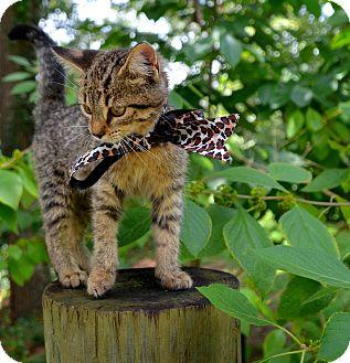 Domestic Mediumhair Kitten for adoption in Baton Rouge, Louisiana - Kricket
