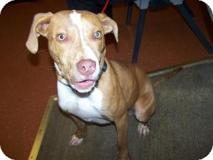 Pit Bull Terrier Mix Dog for adoption in Sidney, Ohio - K.C.