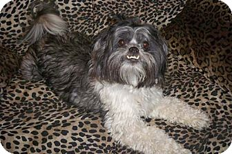 Lhasa Apso/Poodle (Miniature) Mix Dog for adoption in Los Angeles, California - DEEVAH