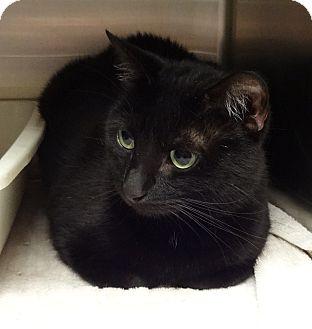 Domestic Shorthair Cat for adoption in Marietta, Georgia - AVA