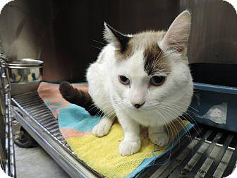 Domestic Shorthair Cat for adoption in Fremont, Nebraska - Riley