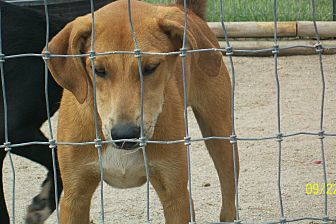 Border Collie/Boxer Mix Puppy for adoption in Mexia, Texas - Mack