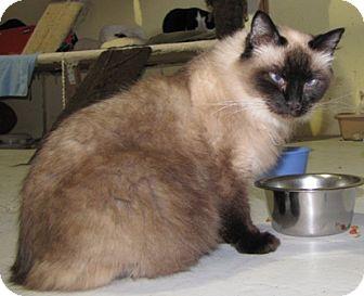 Ragdoll Cat for adoption in Oakland, California - Beatrice