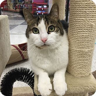 Domestic Shorthair Cat for adoption in Palatine, Illinois - Tikki
