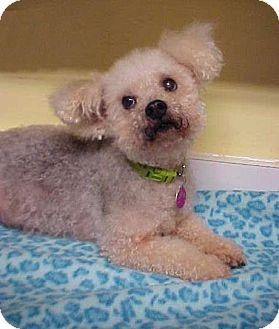 Poodle (Miniature)/Bichon Frise Mix Dog for adoption in Dahlgren, Virginia - Roscoe