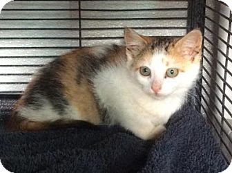 Domestic Shorthair Kitten for adoption in Breinigsville, Pennsylvania - Maria