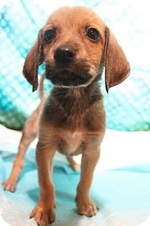 Labrador Retriever/Beagle Mix Puppy for adoption in Southington, Connecticut - Clementine