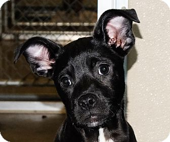 Pit Bull Terrier Mix Puppy for adoption in Spokane, Washington - Molly