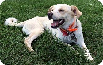 Labrador Retriever/Husky Mix Dog for adoption in Mt. Prospect, Illinois - Feather