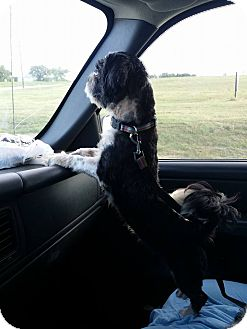 Shih Tzu Mix Dog for adoption in FORT WORTH, Texas - Norma Jean