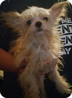 Maltese Mix Dog for adoption in Houston, Texas - PORKY