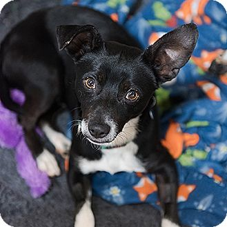 Chihuahua/Dachshund Mix Dog for adoption in Kanab, Utah - Lamont