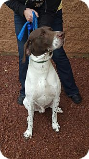 German Shorthaired Pointer Mix Dog for adoption in Alma, Wisconsin - Jay