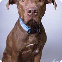 Rhodesian Ridgeback Mix Puppy for adoption in Norman, Oklahoma - Ginger