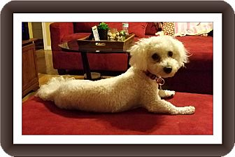 Bichon Frise Dog for adoption in Tulsa, Oklahoma - Adopted!! Astro - S. TX