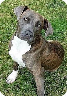 American Staffordshire Terrier/Labrador Retriever Mix Puppy for adoption in Snohomish, Washington - Buddy, playful perfect puppy!