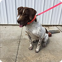 English Pointer Mix Dog for adoption in Paducah, Kentucky - Jane