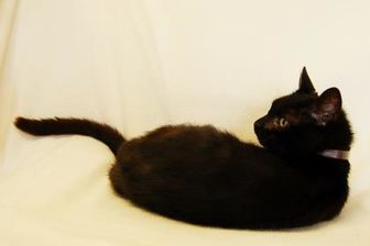 Domestic Shorthair/Domestic Shorthair Mix Cat for adoption in Toccoa, Georgia - Midnight