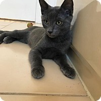 Russian Blue Cat for adoption in St. Cloud, Florida - Simon