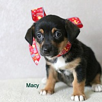 Adopt A Pet :: Macy - Brooklyn Center, MN