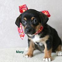 Adopt A Pet :: Macy - Brooklyn Center, MN