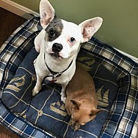 French Bulldog/Chihuahua Mix Dog for adoption in Providence, Rhode Island - Pinot & Cali CP in New England Bonded Pair