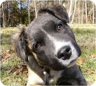 Shepherd (Unknown Type)/Retriever (Unknown Type) Mix Dog for adoption in Mocksville, North Carolina - Toby