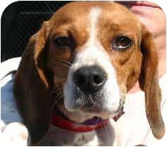 Beagle Dog for adoption in Portland, Oregon - Winnie