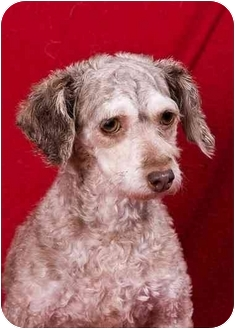 Poodle (Toy or Tea Cup) Dog for adoption in Anna, Illinois - FRANCINE