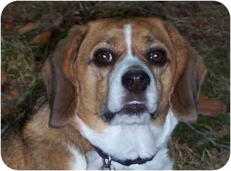 Beagle Dog for adoption in Indianapolis, Indiana - Gracie