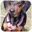 Photo 1 - Dachshund Dog for adoption in Grass Valley, California - Fritz