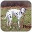 Photo 4 - Dalmatian Mix Dog for adoption in Bloomsburg, Pennsylvania - Hope