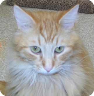 Domestic Longhair Cat for adoption in Grants Pass, Oregon - Spike