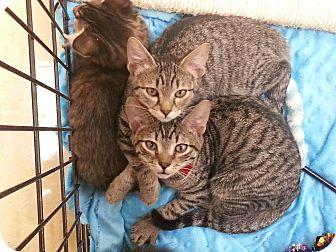 Domestic Shorthair Kitten for adoption in Marietta, Georgia - Misty
