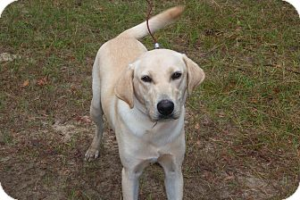 Labrador Retriever Mix Dog for adoption in Cumming, Georgia - Buddy Y