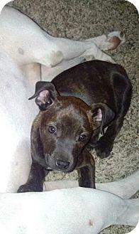 Miniature Pinscher/Jack Russell Terrier Mix Puppy for adoption in Cincinnati, Ohio - Nutmeg