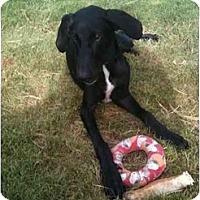 Adopt A Pet :: Devyn - Arlington, TX