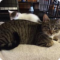 Adopt A Pet :: Tootsie - Alamo, CA