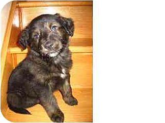Golden Retriever/Labrador Retriever Mix Puppy for adoption in Kirkland, Quebec - Gunner