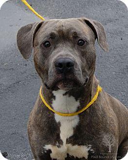 Pit Bull Terrier Mix Dog for adoption in Monroe, Michigan - Woz