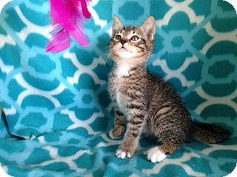 Domestic Shorthair Kitten for adoption in Thomaston, Georgia - Tippy