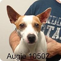 Adopt A Pet :: Augie - Greencastle, NC