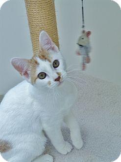 Domestic Shorthair Kitten for adoption in Chambersburg, Pennsylvania - Matthew