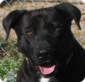 Retriever (Unknown Type)/American Bulldog Mix Dog for adoption in Cedartown, Georgia - 30237100
