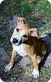 Hound (Unknown Type) Mix Puppy for adoption in Bradenton, Florida - Hashbrown